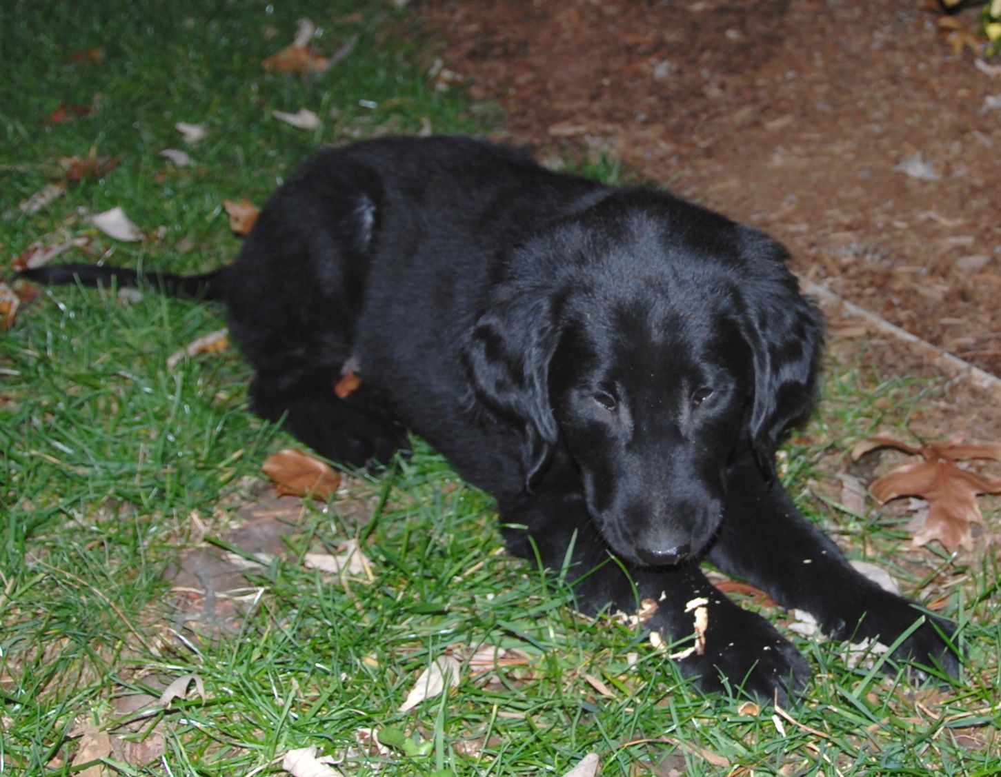 Flat Coated Retriever - Pictures, posters, news and videos on your ...