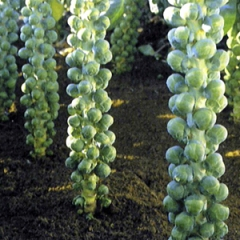 brussel_sprout_igor